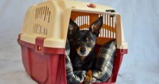 Как приучить собаку к переноске
